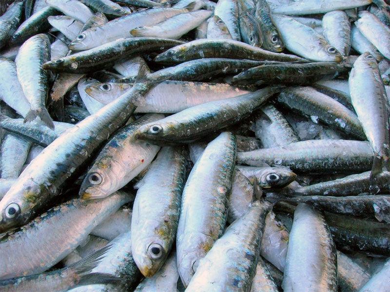 img_sardinas 2