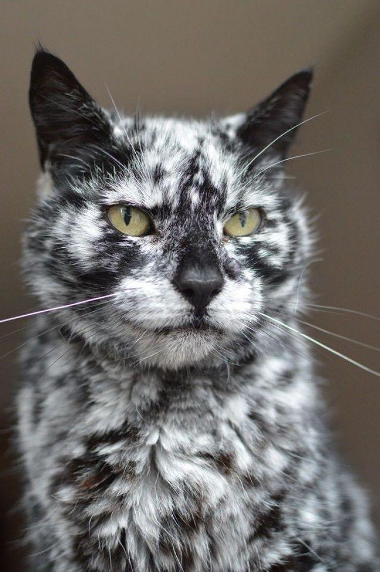 Img scrappy gatos vitiligo 2 art