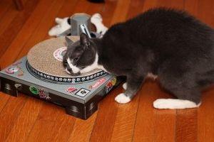 Img shocks sockington cats famosos gatos videos musica adoptar animales mascotas art