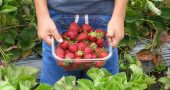 Img strawberries hd