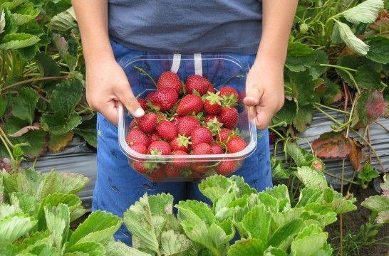 Img strawberries listadogrande