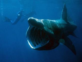 Img tiburon peregrino001
