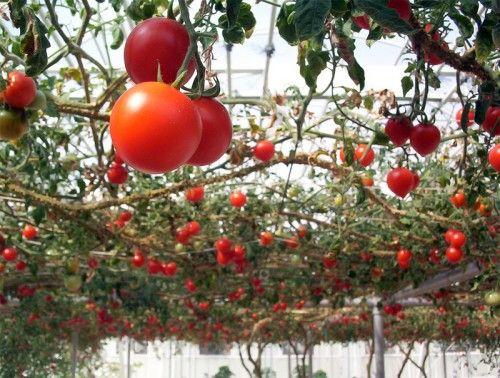 Img tomateras