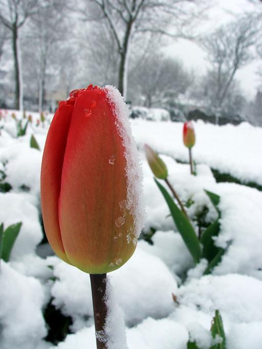 Img tulipan nieve