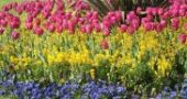 Img tulipan list