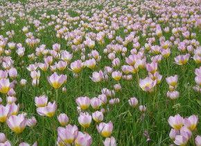 Img tulipanes amsterdam