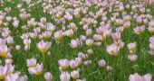 img_tulipanes amsterdam hd_