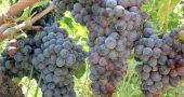 Img uvas