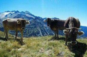 Img vacas pirineos