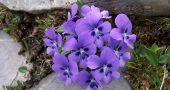 Img violetas
