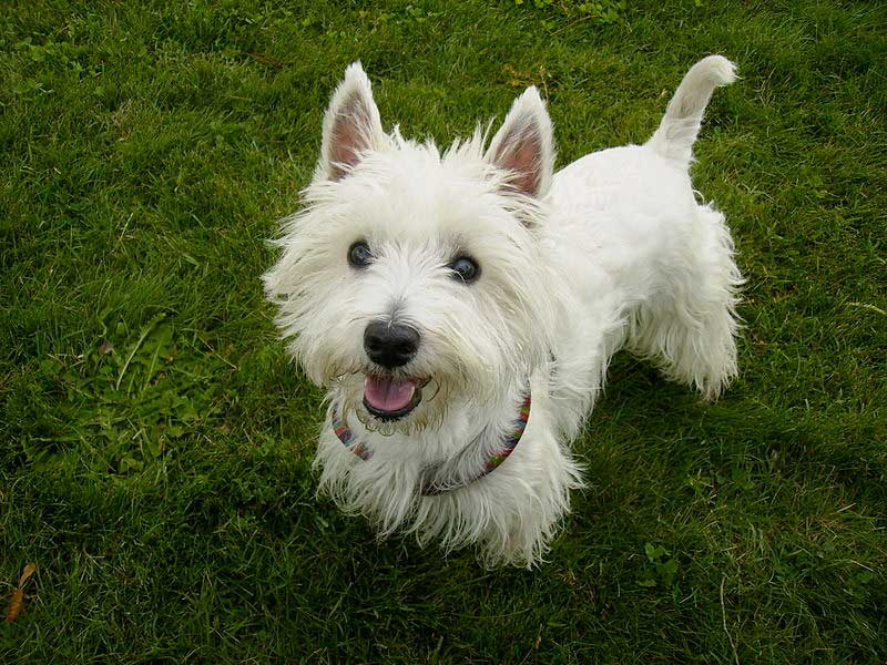 img_west highland white terrier