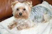 Img yorkshire terrier colonias listado