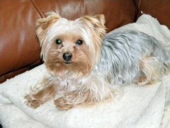 Img yorkshire terrier colonias perro art