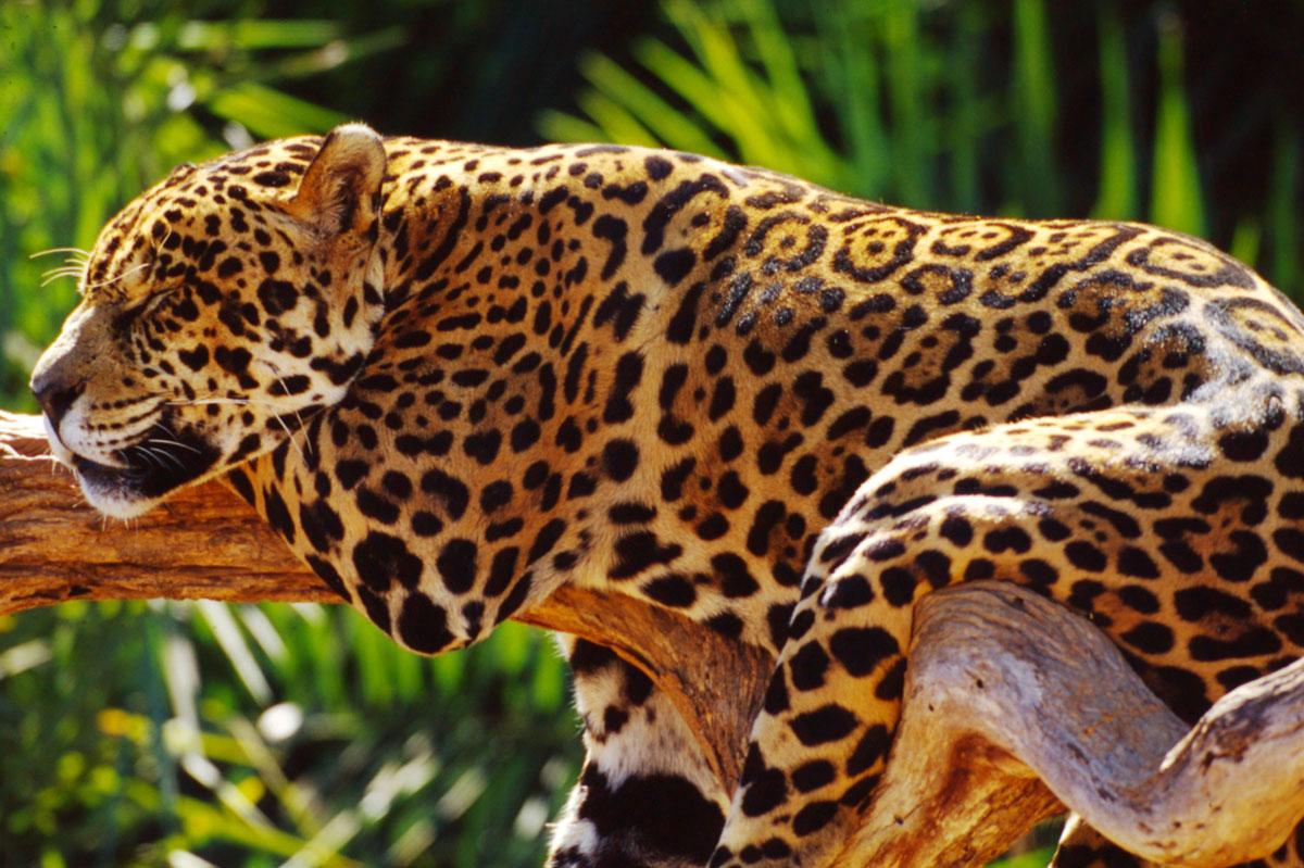 Jaguar by Michel Gunther WWF