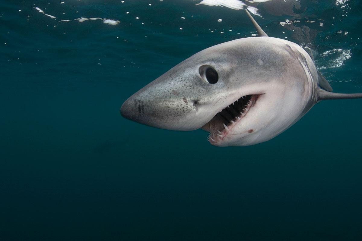 Tiburon Doug Perrine WWF