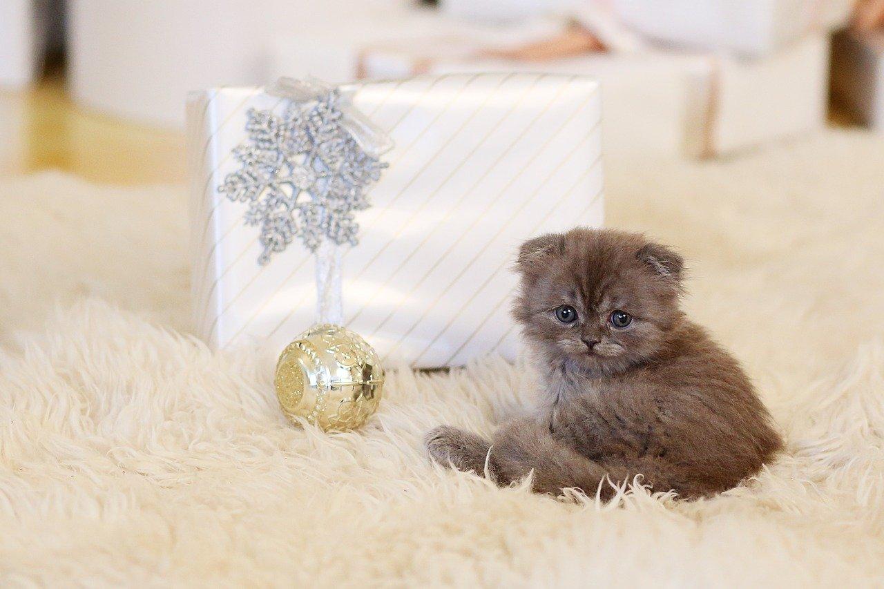 Gato mascota regalo