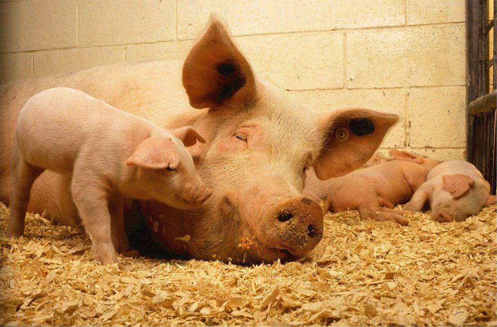 Cerdos descansado, símbolo del bienestar animal