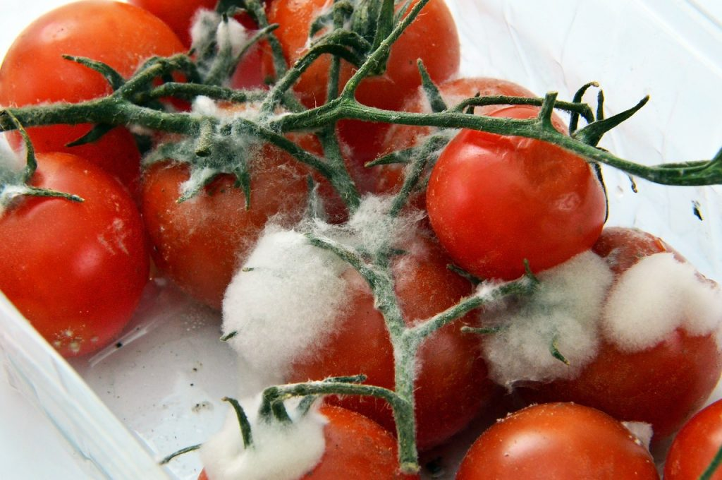 Manual de supervivencia para evitar tomate con moho