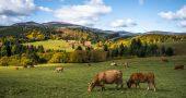 Vacas pastando, símbolo del bienestar animal