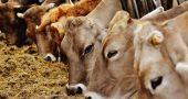 Vacas en granjas con certificado Welfair
