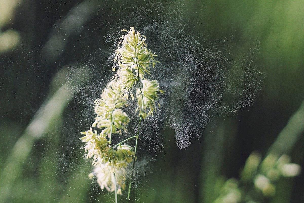 Maskara prebenitzeko polenaren alergia
