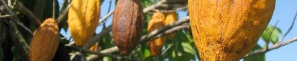 Cacao1 gr