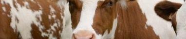 Vacas m