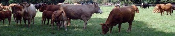 Vacas pastando gr