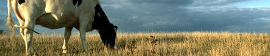 Vaca pastando m