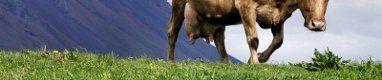 Vaca pasto m