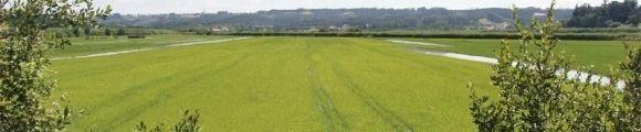 Cutivo arroz gr