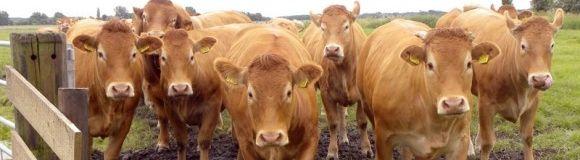 Vacas xl