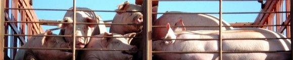 Camion cerdos gr