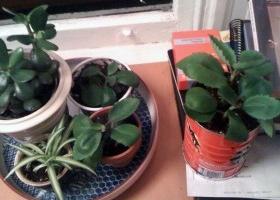 Rayito de sol planta reproduccion asexual de las plantas