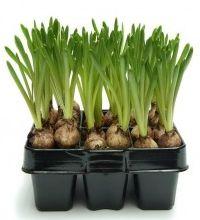 Cultivo y cuidados de los bulbos EROSKI CONSUMER