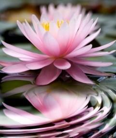 La flor de loto una planta acu tica habitual en los for Plantas para estanques de agua fria