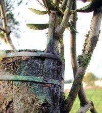 Reproduccion asexual vegetativa por medio de acodos