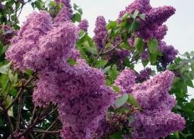 los arbustos m s arom ticos para el jard n eroski consumer