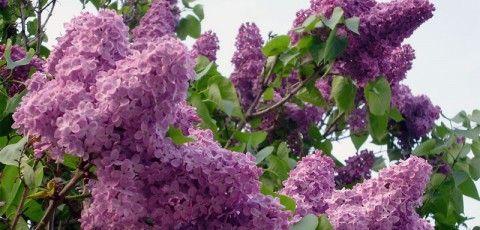 Plantas thinglink for Plantas arbustos de hoja perenne