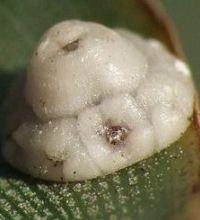 Consejos para eliminar la cochinilla de nuestras plantas for Eliminar cochinilla algodonosa
