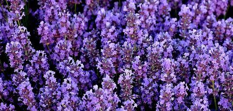La lavanda una planta arom tica y ornamental eroski for Lavanda cultivo o cuidados