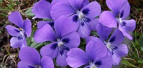 Resultado de imagen de violetas