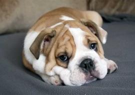 Perros con piel atópica