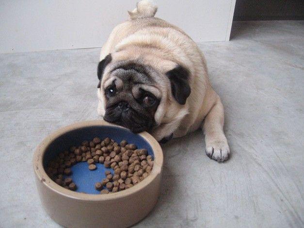 Q Comen Los Chow Chow Alimentar a un perro a...
