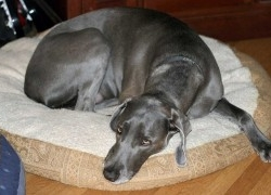 Quimioterapia perros