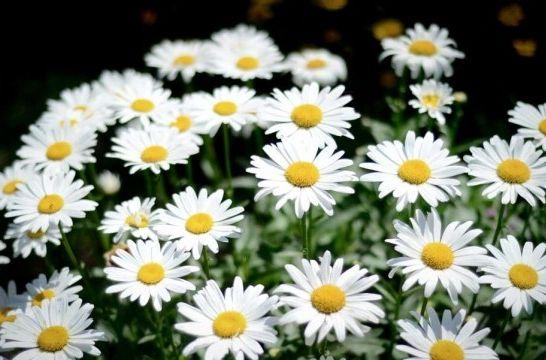 La Margarita Belleza Y Posibilidades Para El Jardin Eroski Consumer