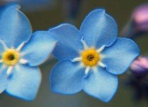 Nomeolvides Cuidados Para Una Flor Poco Exigente Eroski Consumer