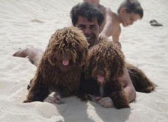 Perro de agua español, un nadador que estuvo al borde de la extinción