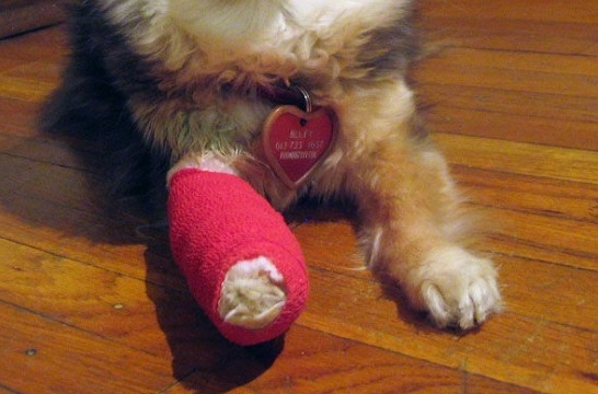 Hacer un vendaje de emergencia al perro en cinco pasos ...