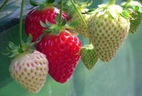 C mo aprovechar una caja de fresas eroski consumer for Maduras en la cocina